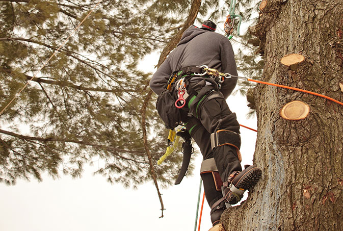 TreePro employee trimming a tree
